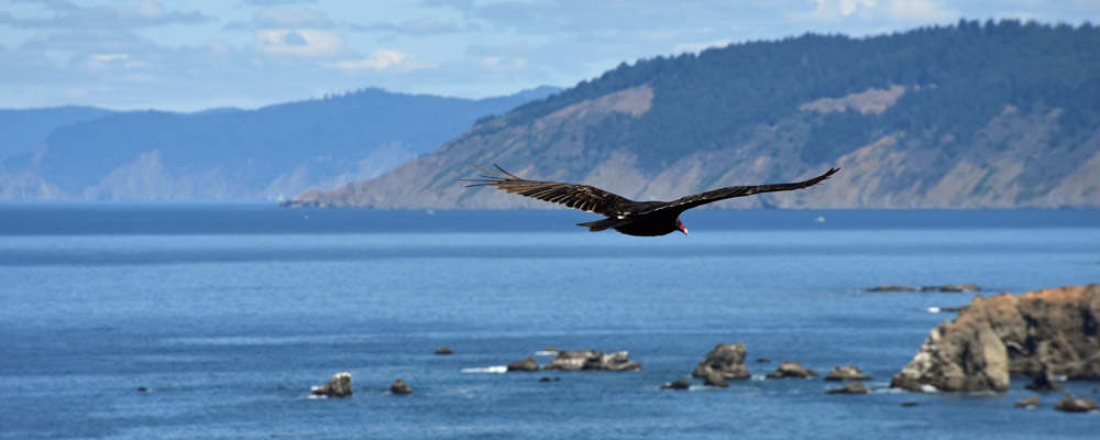 Eagle,Flying,Sea side,Oregon