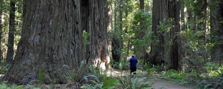 Redwood,Giant,Founders Grove,National Park