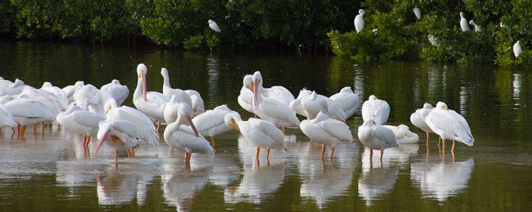 Hvide pelikaner,Ding Darling,Wildlife Refuge, Sanibel