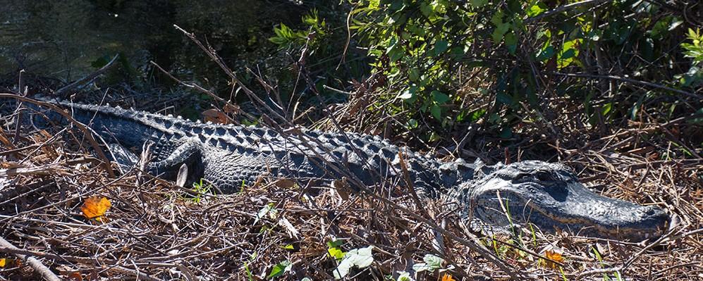 Alligator,Solskin,Everglades,National Park