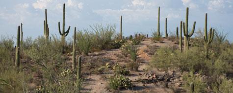 Kaktus,Saguaro,Ørken,Arizona