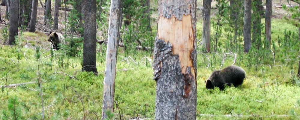 Grizzly bjørne,Yellowstone National Park,Skov,Mor og unge