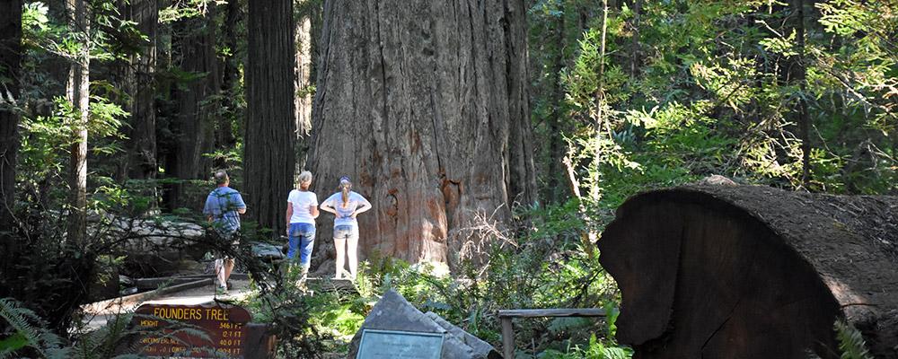 Founders Tree,Redwood,Founders Grove,Mennesker,Træ