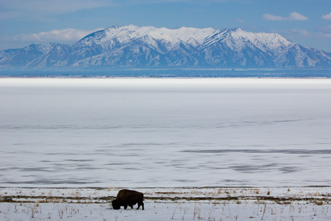 Bison,Bjerge,Salt Lake City,Vinter,Antelope Island