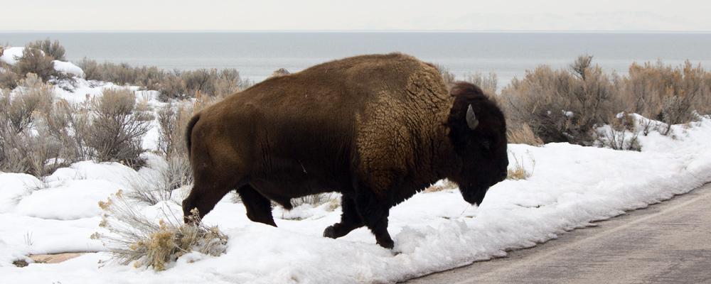 Bison,Sne,Rabbitbrush,Antelope Island