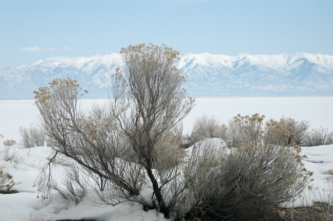 Rabbitbrush,Sne,Vinter,Bjerge,Antelope Island,Salt Lake City